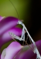 Hiding amongst orchid flowers, this tiny...