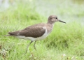 actitis hypoleucos. Common Sandpiper.