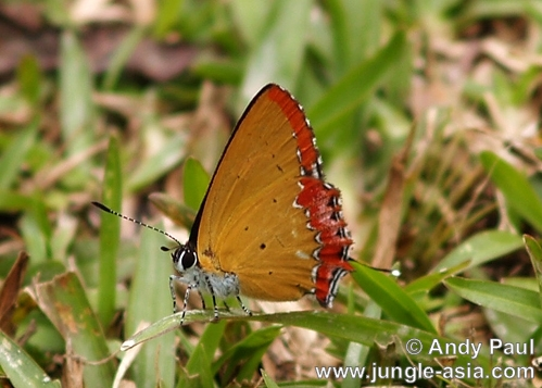 heliophorus epicles. Although the colors of this butterfly se...