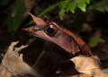 megophrys nasuta. The Bornean Horned Frog is quite variabl...