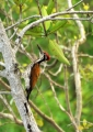 chrysocolaptes lucidus (male). Greater Flameback Woodpecker (male)