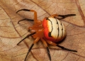 acusilas malaccensis. A beautifully colored spider with horizo...