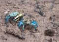 uca sp. (male and female). During low tide, hundreds of colorful Fi...