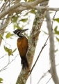 chrysocolaptes lucidus (female). Greater Flameback Woodpecker (female)