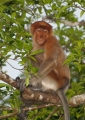 nasalis larvatus (female). Endemic to Borneo, the Proboscis Monkey ...