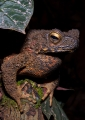 bufo asper. Found in primary and old secondary rainf...