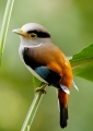 serilophus lunatus (female). As with most Asian broadbills, the Silve...
