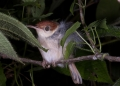 orthotomus ruficeps cineraceus. (updated) An Ashy Tailorbird sleeping wi...