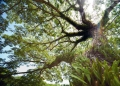 samanea saman. Large trees such as the raintree support...
