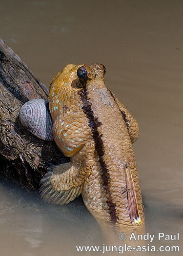 periophthalmus schlosseri. The Giant Mudskipper can often be seen o...