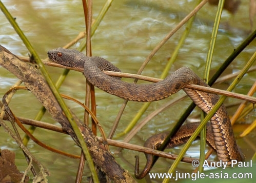 trimeresurus purpureomaculatus. Mangrove or Shore Pit Vipers are aggress...