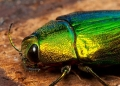chrysochroa purpureiventris. (Close-up photo). The iridescent metalli...