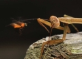 hierodula sp.. A Giant Asian Mantis about to pounce on ...
