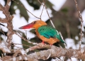pelargopsis capensis . The colorful Stork-billed Kingfisher is ...