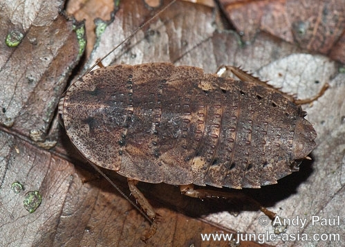 A fossil-like forest roach photographed ...