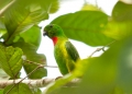 loriculus galgulus (male). Blue-crowned Hanging Parrot. Males posse...