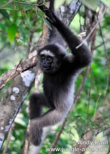 hylobates muelleri (juvenile female). Bornean Gibbons travel at an extremely f...