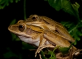 polypedates leucomystax (male and female). A pair of amplexing Four-lined Tree Frog...