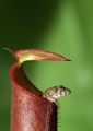 nepenthes gracilis. A small frog sits inside a common lowlan...
