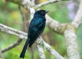 dicrurus remifer. A Lesser Racket-tailed Drongo, without i...