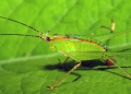A colorful katydid nymph. The undevelope...