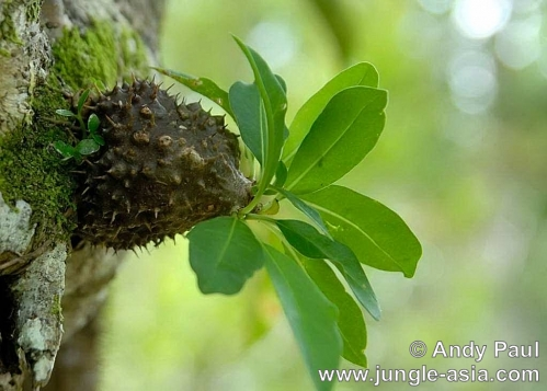 myrmecodia sp.. This species of ant plant can be found a...