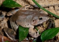 limnonectes malesianus. A large and stocky frog found both in th...