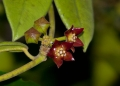 hoya sp.. A newly opened wild hoya flower. This ep...