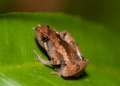 microhyla perparva. The Least Narrow-mouthed Frog is found i...