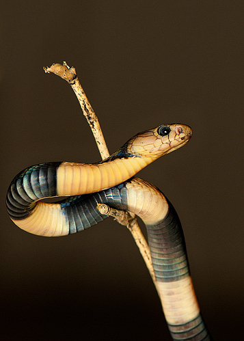 naja sumatrana (juvenile). The Sumatran Cobra (naja sumatrana) is a...