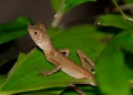 aphaniotis ornata. The Leaf-nosed Lizard or Ornate Shrub Li...