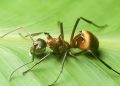 polyrhachis bihamata. A formidable-looking ant, the polyrhachi...
