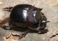 An unidentified scarab beetle from the B...
