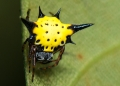 gasteracantha hasselti. Hasselt's Spiny orb-weaver spider.