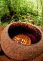 rafflesia kerrii . A close-up photo of Rafflesia Kerrii rev...