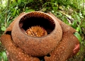 rafflesia kerrii . A photo of Rafflesia Kerrii revealing th...