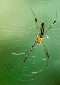 nephila sp. (juvenile, female). A juvenile female orb weaver of the genu...
