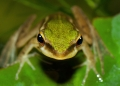 hylarana raniceps. Variable in color, the White-lipped Frog...