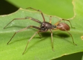 This spider of the Corinnidae family see...