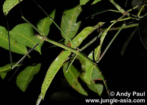 phobaeticus serratipes. The Giant Malaysian Stick Insect is the ...