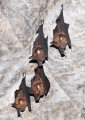 hipposideros sp.. A leaf-nosed bat from the genus Hipposid...