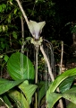 tacca integrifolia. Commonly known as Bat Lily or Black Lily...