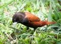 lonchura atricapilla. A Chestnut Munia feeding on grass seed. ...