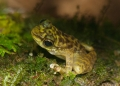 amolops larutensis. Larut Torrent Frogs are often found clin...