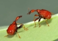 trachelophorus sp. (females). Female Giraffe Weevils. These females ar...