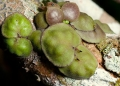 dischidia astephana . A species of epiphytic myrmecophyte comm...
