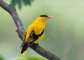 oriolus chinensis. Black-naped Oriole.