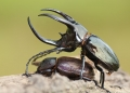chalcosoma caucasus. A pair of mating chalcosoma caucasus (At...