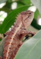 calotes emma. Forest Crested Lizard (calotes emma), ph...