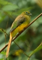 harpactes oreskios (female). A female Orange-breasted Trogon (harpact...
